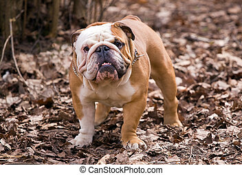 English bulldog - The English bulldog on a background of...