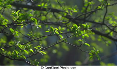 Branch with young leaves - The first spring gentle leaves,...