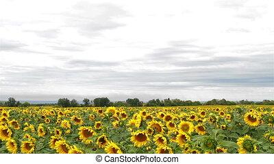 Sunflowers panning camera