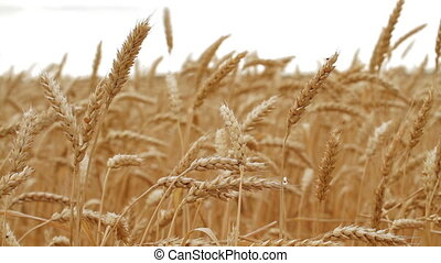 Wheat Field. Close up - 2 shot - Gold Wheat Field in Russia