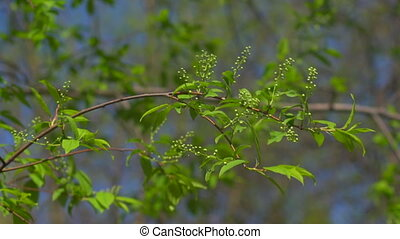 Leaves and wild cherry blossoms - The first spring gentle...