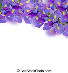 blue irises border - fresh blue irises border isolated on...