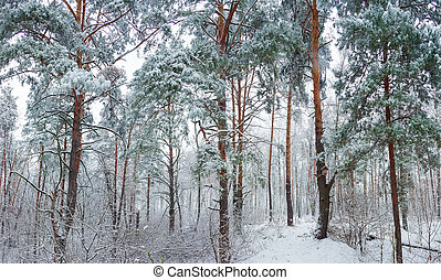 Winter forest during a snowfall - Winter forest with pine...