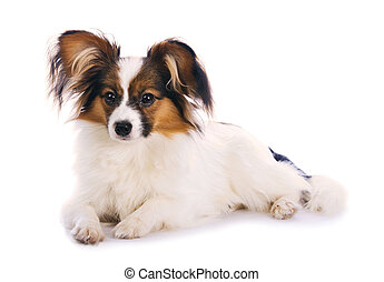 Young papillon isolated on a white background