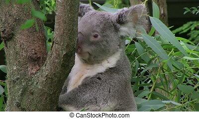 Koala Bear Climbing 02 - Koala bear climbing up tree.