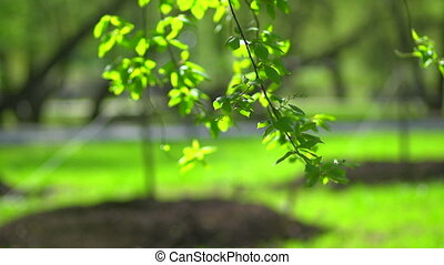A branch with leaves on a green background - The first...
