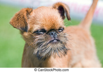 Brussels Griffon - The puppy of breed Brussels Griffon