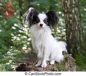 Papillon - Portrait of Young dog of breed papillon