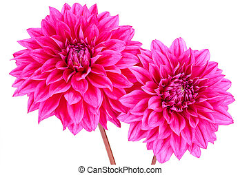 Dahlia pink, purple colored flower with green stem