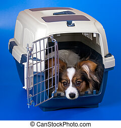 Young papillon - Young dog papillon and a plastic carrier