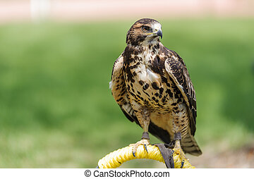 Rough-legged Hawk perched - Rough-legged Hawk (Latin name...