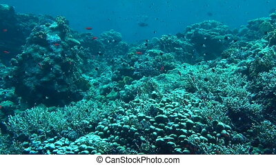 The Red Sea - Small fish swimming in the coral reef of the...