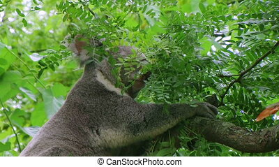 Koala Bear Climbing - Koala bear climbing down in tree.