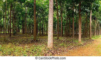 Mahogany plantation in Kauai, Hawaii - Panorama of trunks in...