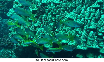 Snappers - Shoal of one-spot snappers swimming in the Red...