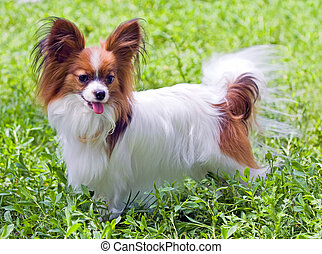 Papillon - Young dog of breed papillon on a grass