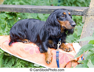 Dachshund standard langhaar - Dog of breed dachshund...