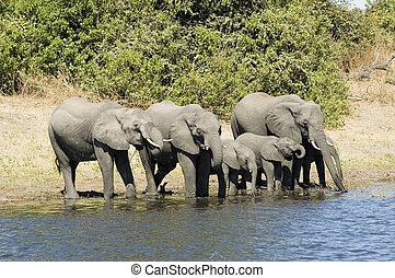 Elephants drinking from the river in Chobe NP, Botswana