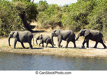 Elephant family walking towards a river for a bath in...