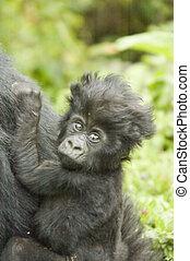 Baby gorilla - Baby mountain gorilla in Parc National des...