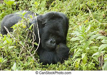 Gorilla in Parc National des Volcans, Rwanda