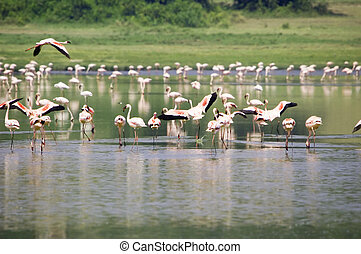 Lesser flamingo\'s in the Katwe Explosion Crater, Queen...