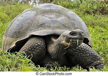 The Galapagos tortoise or Galapagos giant tortoise...