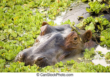Hippo in a pool surrounded by waterplants