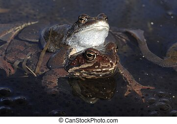 Copulation of The common frog (Rana temporaria) mating, also...