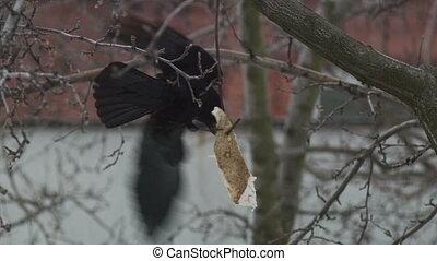Crow Eats A Dish - Raven eats a a piece of fat