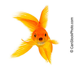 Goldfish - Gold fish isolated on a white background