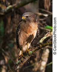 Red-shouldered Hawk - A beautiful Red-shouldered Hawk...