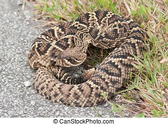 Eastern Diamondback Rattlesnake - A large, impressive and...