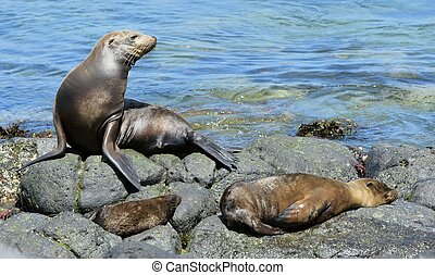 A Sea Lion rests on the rocky shoreline of the Galapagos...