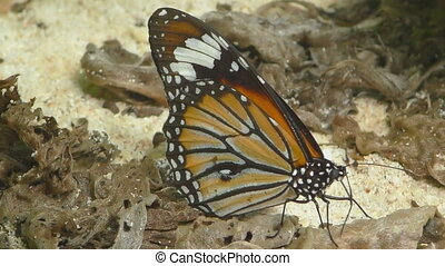 Monarch butterfly -Danaus plexippus- feeding close-up, clow...