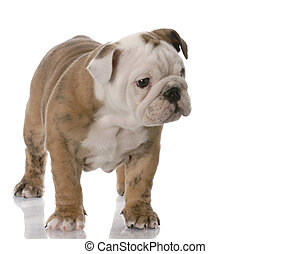 bulldog puppy - english bulldog puppy standing with...
