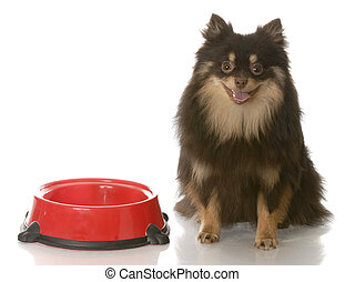 dog dinner time - brown and tan pomeranian sitting beside...