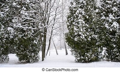 Snowing on thuja trees background - Snow falling on green...