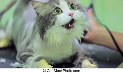 Scared Cat Being Shaved At Pet Clinic - Scared domestic cat...