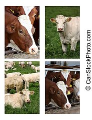 Cows collection