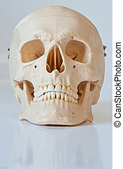 Skull - Plastic skull isolated on a white background