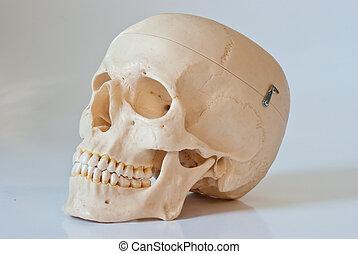 Skull - Plastic skull isolated on a white background