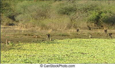 chacma baboon (Papio ursinus) on banks of waterhole Sunset...