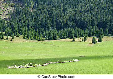 Sheep resolved in a row on the pasture at sunny mountain...