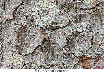 Texture of old tree bark and lichen - Closeup background...