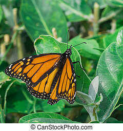 Monarch Butterfly on Leaf - A macro of a monarch butterfly...