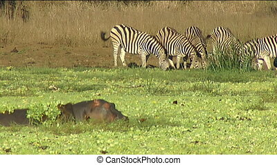 Hippo adults and calf in waterhole - hippopotamus...