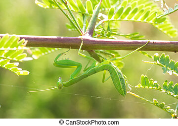 Praying Mantis Hanging from a Branch - Macro of a praying...