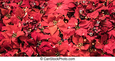 Poinsettia plant leaves. Christmas displays