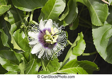 Passion Fruit Flowers - Passion fruit flowers (passiflora...